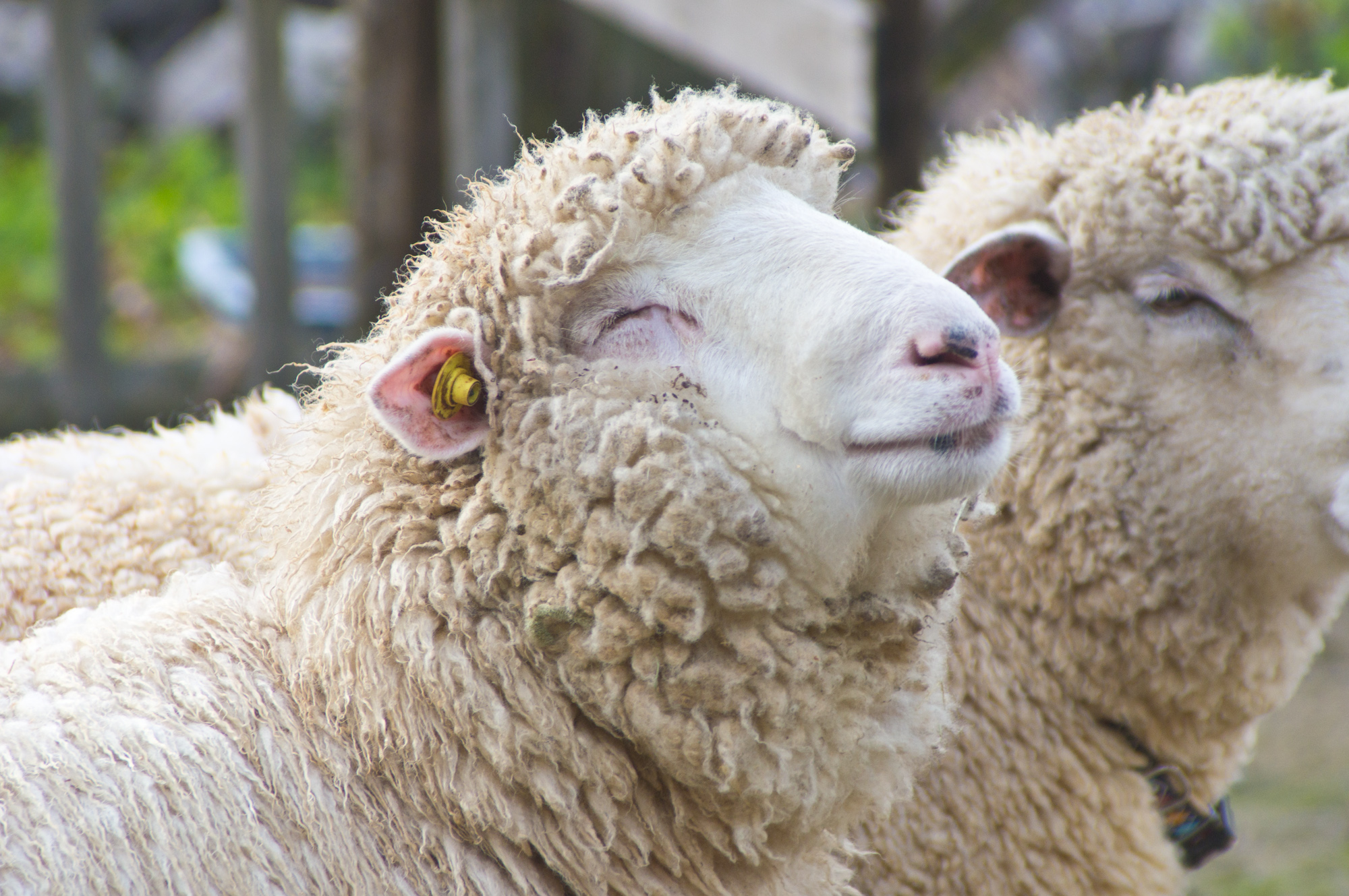 画像 : いろいろな羊画像まとめ ... : 羊 かわいい 写真 : すべての講義