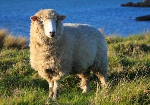 羊 フリー素材