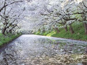 まとめ 日本 桜と河川 フリー素材