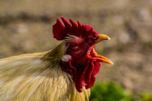 鶏 フリー素材