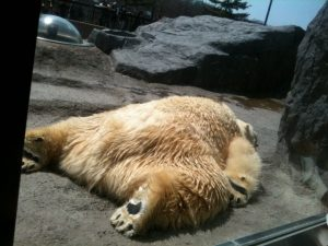 白熊 ばたんきゅー フリー素材