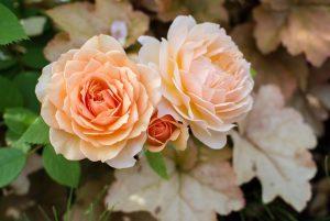 花 バラ ヒューケラの葉 フリー素材